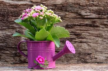 Flaming Katy (Kalanchoe blossfeldiana) in a pink steel pot