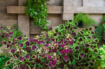 Different Coleus plants grow in flowerpot on windowsill