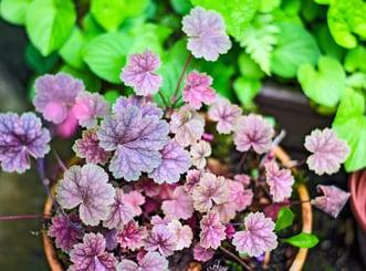 Heuchera plant with purple leaves in pot