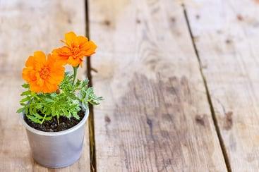 Marigold in a pot