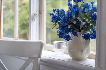 Cornflower in a pot on the windowsill