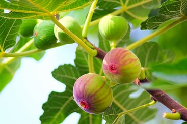 Types of Fig Trees