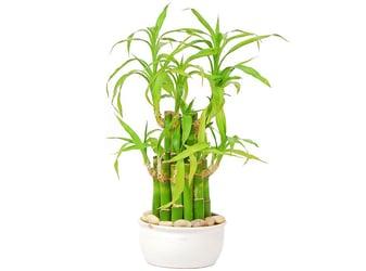 Lucky Bamboo Tree (Dracaena Sanderiana)