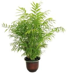BambooPalm (Chamaedorea Seifrizii)