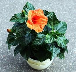 Hibiscus in a pot