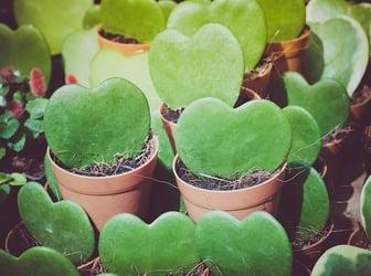 Hoya Plant in pot