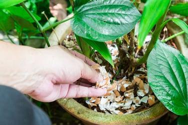 man applies organic fertilizer for houseplants
