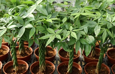 Money Tree Plant (Pachira aquatica)