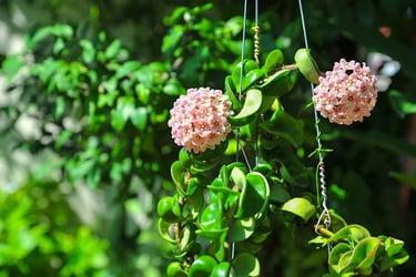 Hindu rope plant (hoya carnosa 'compacta')