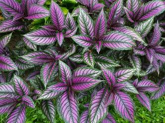 Colorful Persian shield plant