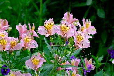 Pink peruvian lily flower close-up