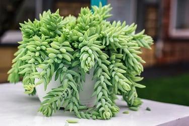 Sedum morganianum on the table