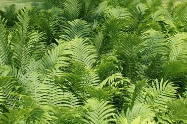 Fern Plants