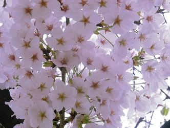 Prunus x yedoensis (Yoshino Cherry Tree)