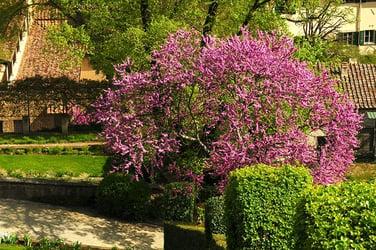 Types of Redbud Trees