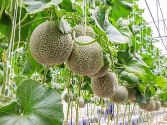 Types of melons