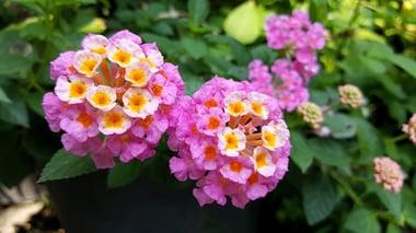 Types of Lantana Flowers