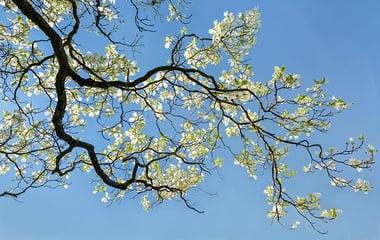 Types of Dogwood Trees