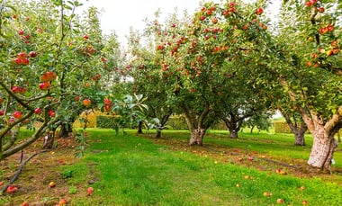 Types of Apple Trees