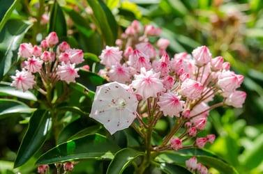 Types of Laurel Flowers