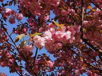 Sakura Tree Care Guide