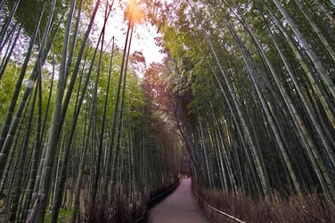 Outdoor Bamboo Plants