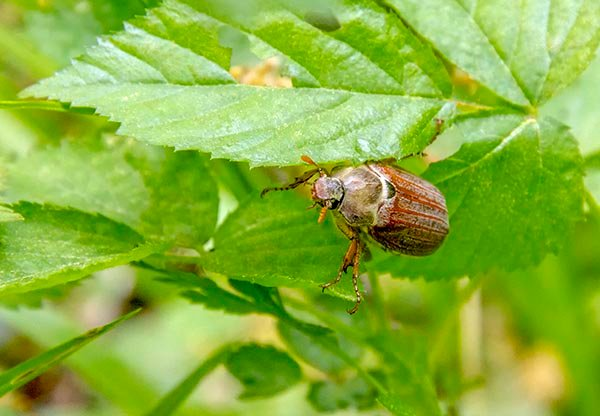 June Bugs How To Control And Eliminate These Irritating Pests Trees Com