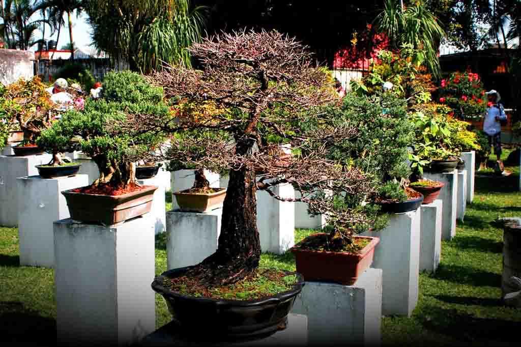 Bonsai Trees Buying Growing Guide Trees Com