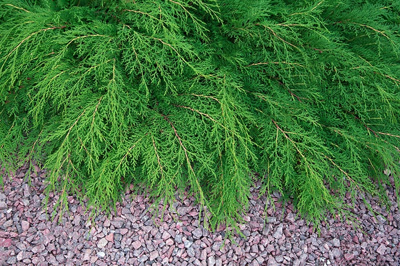 11 Best Evergreen Ground Cover Plants That Make Your Garden Look Greener Better Trees Com