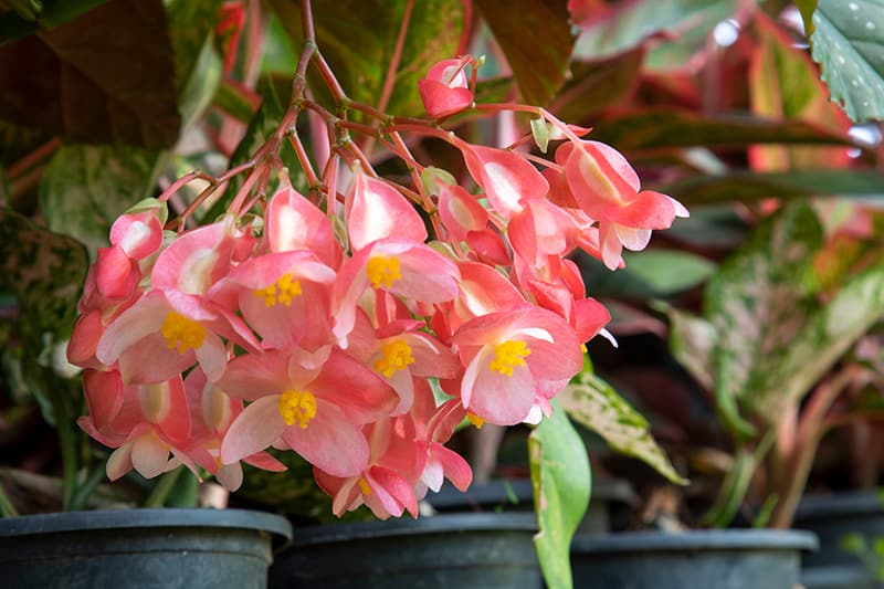 Angel Wing Begonia Growing And Care Guide All You Need To Know Trees Com