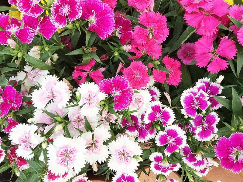 Dianthus Deltoides Maiden Pink
