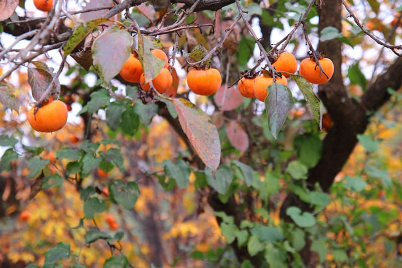 Persimmon Trees Buying Growing Guide Trees Com