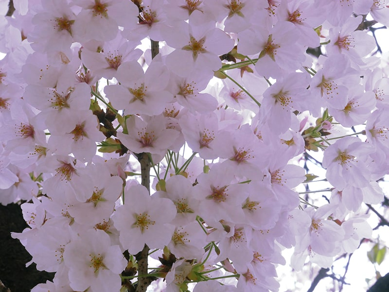 1 Gallon Potted Plant Shidare Yoshino Weeping Cherry Tree Pale Pink Blossoms
