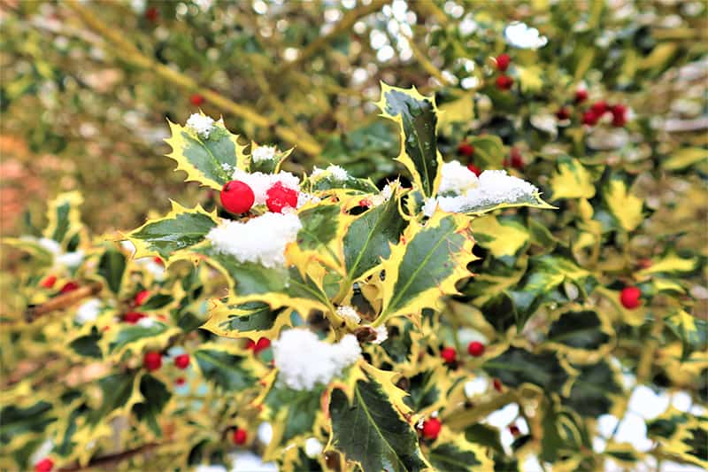 Types of Holly