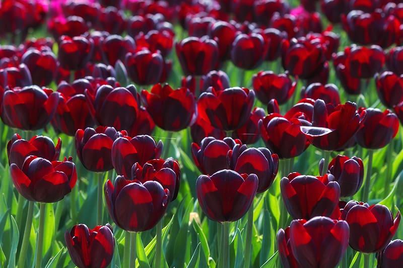 Types of Black Flowers