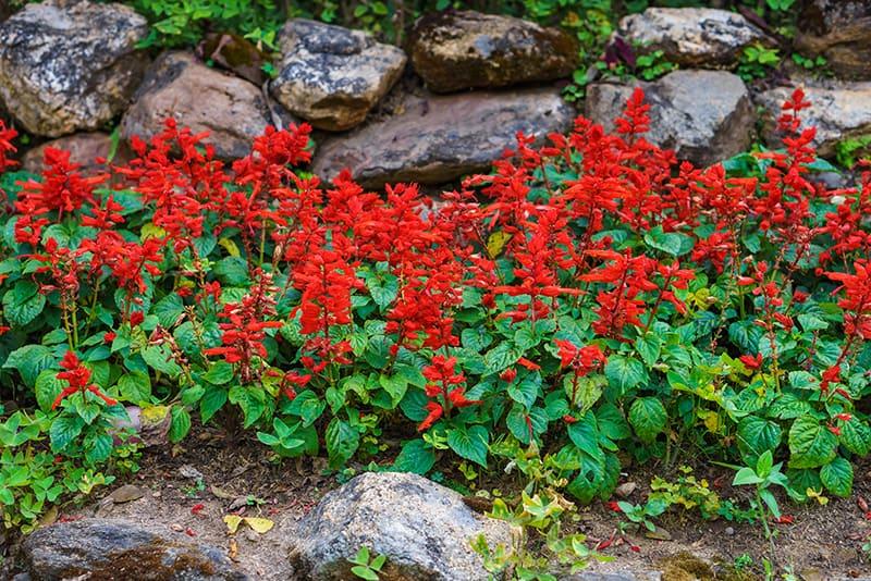 Types of Sage Plants