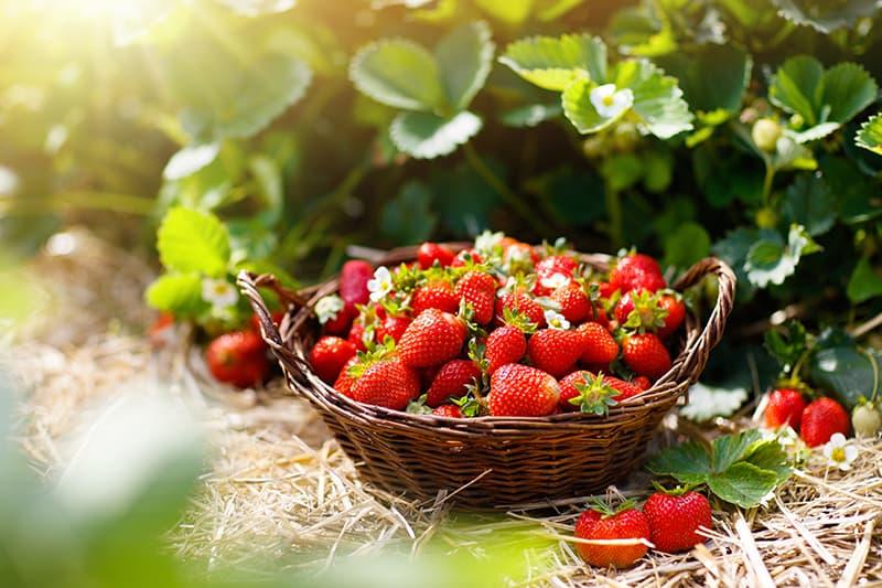 Types of Strawberries