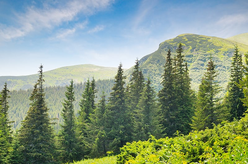 Types of Spruce Trees