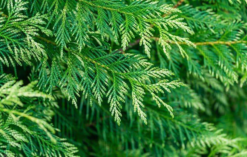 Thuja Green Giant Care Guide