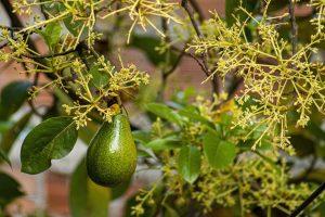 Avocado Tree with tiny flowers