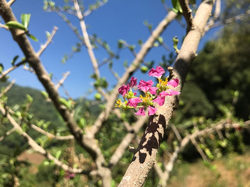 Crepe Myrtle Pruning - Why, When, and How to do It