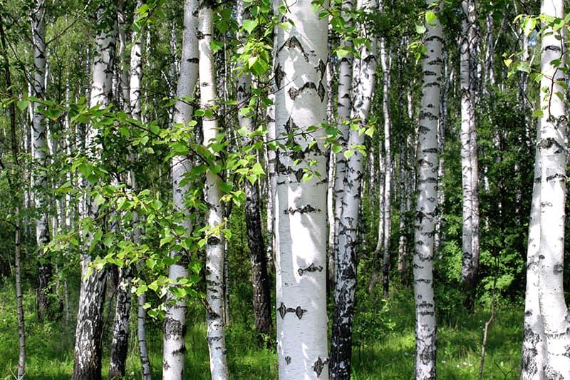 White Bark Trees