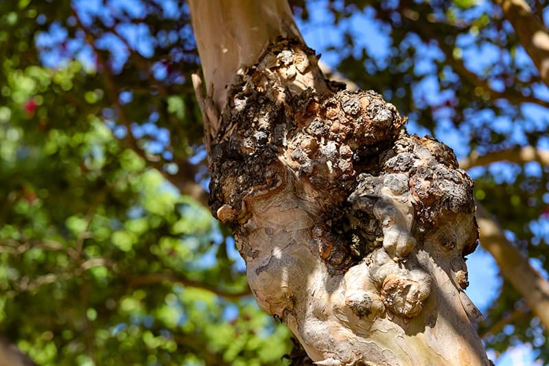Crepe Myrtle Pests and Diseases