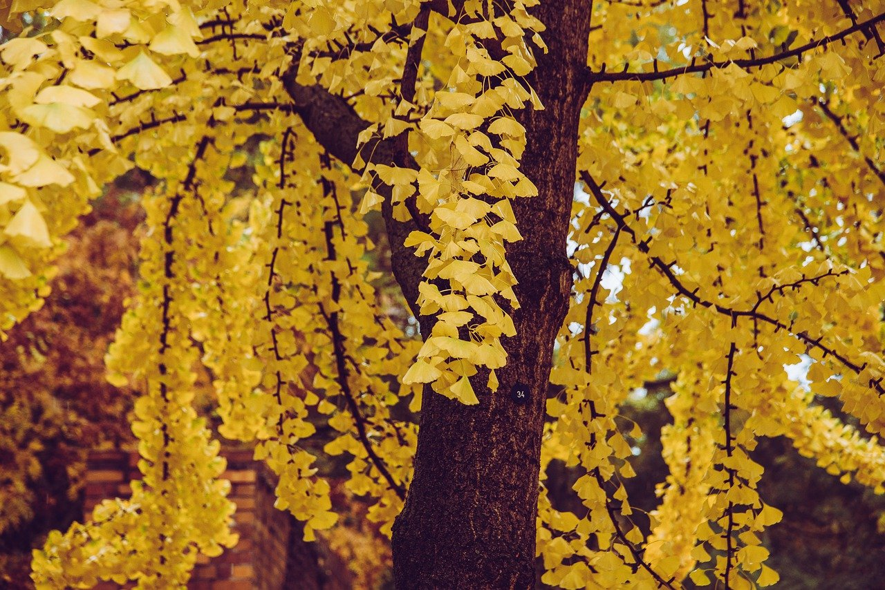 A Gingko Tree in a park