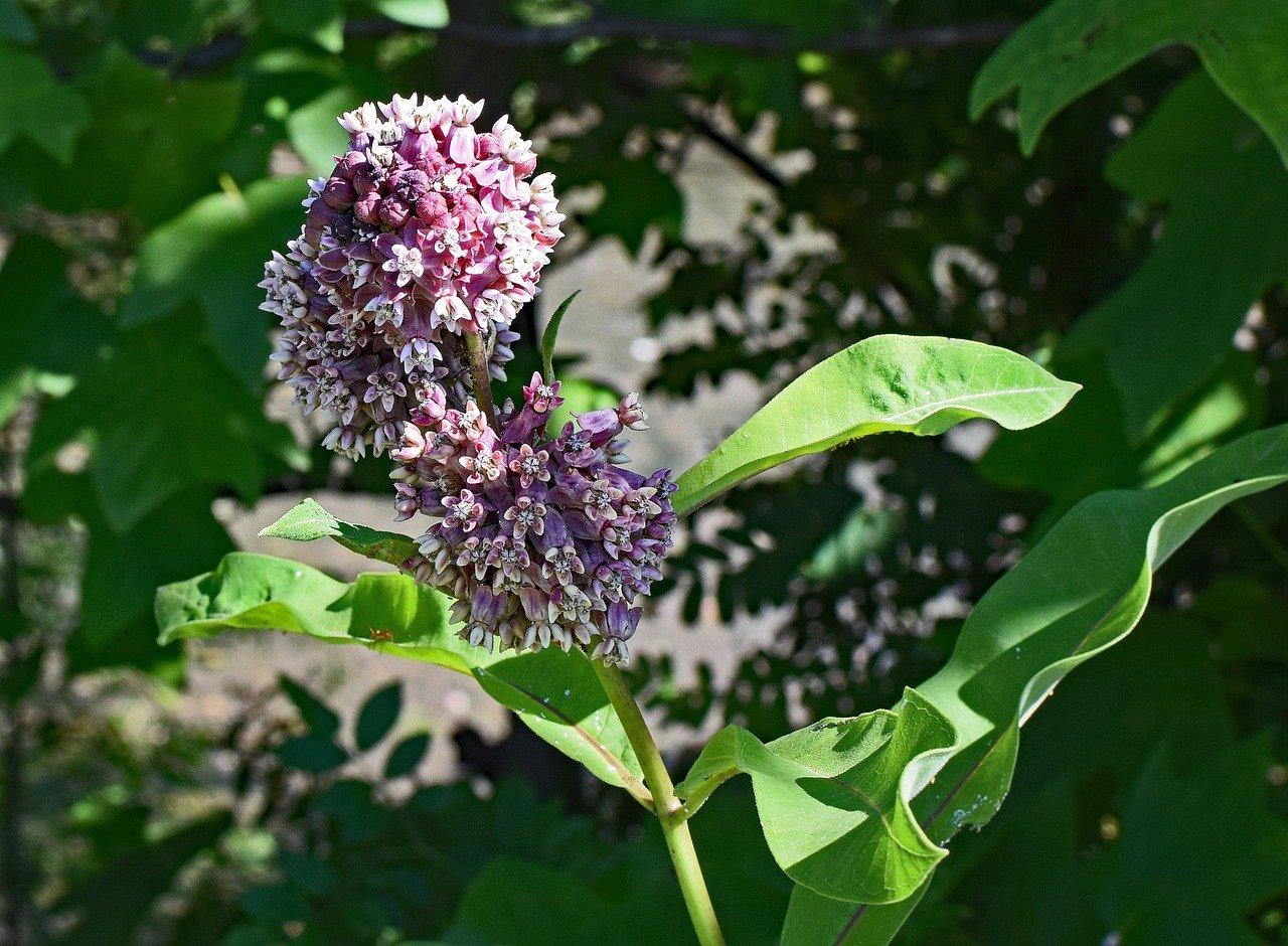 Milkweed flower in sunlight