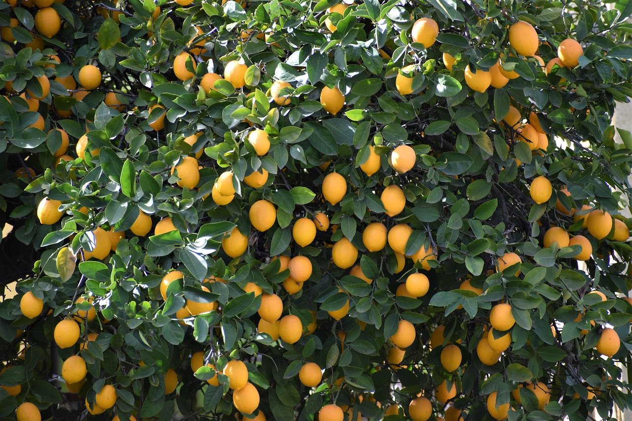Fruits of organic Meryer Lemon Tree