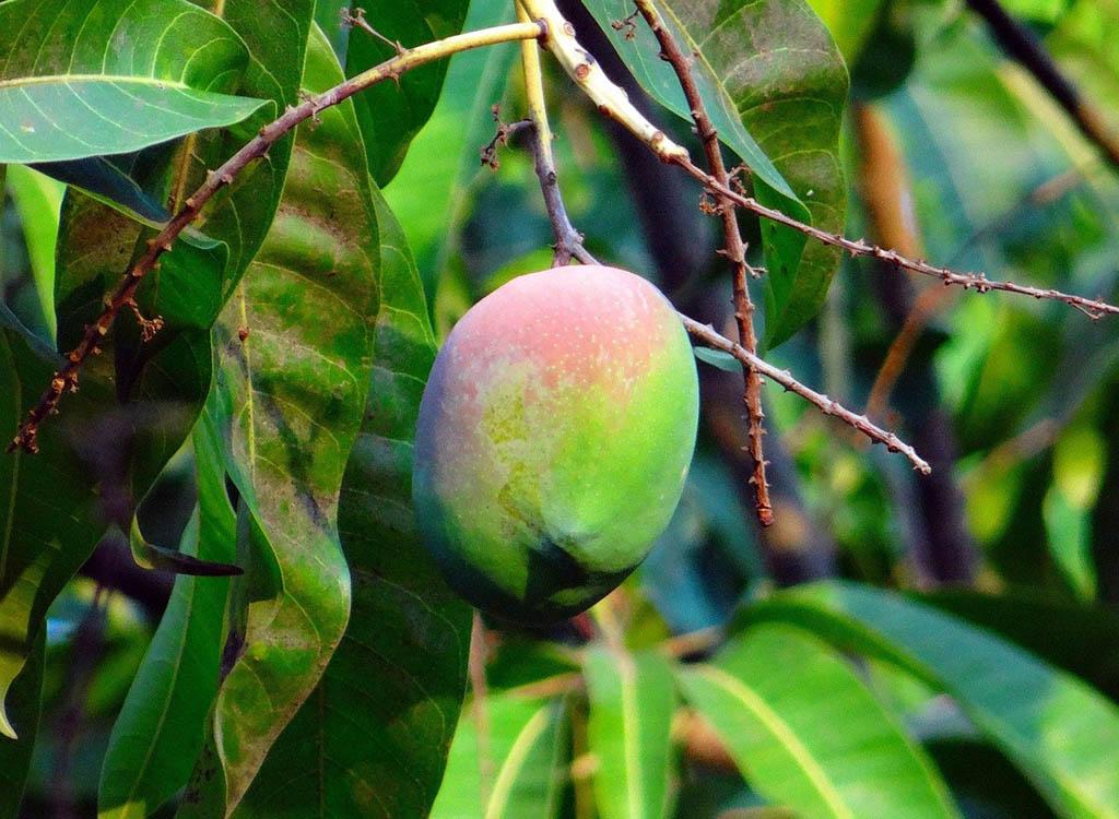 unharvested mango fruit