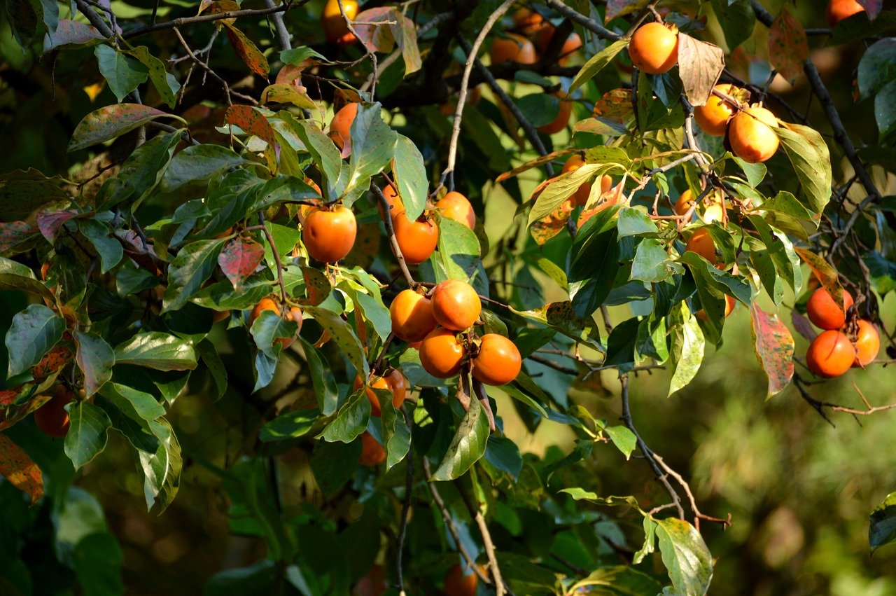 persimmon fruits and branches