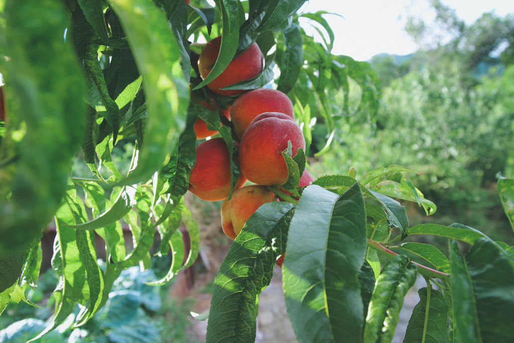 unharvested ripe peach fruits