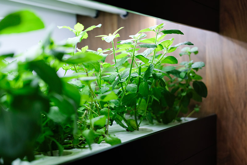 Plants grown in a hydroponic system